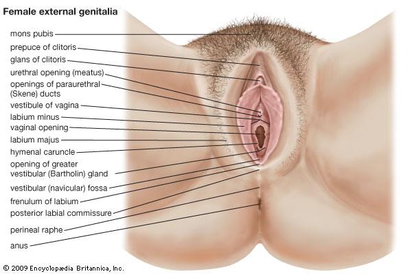 Parts of vaginas